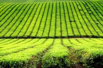 10 עובדות מעניינות על תה
